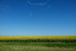 Sunflowers as far as the eye can see—thank you, South Dakota!