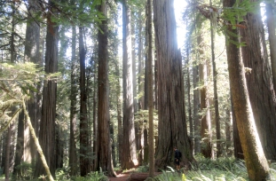 Clyde's favorite… the Redwoods