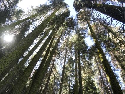 lots of Sugar Pines