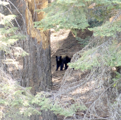 WE FINALLY SAW A BEAR ON THE TRAIL! 2 bears that day, actually, but this is the first one we saw. I was 50 feet away from him when we both scared each other. He gave me the stare down for a minute, ran a bit, then gave us both the stare down. This photo is from stare down number 2.