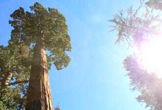 General Grant sequoia tree