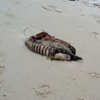 dead armadillo (on the beach? yeah. weird.)